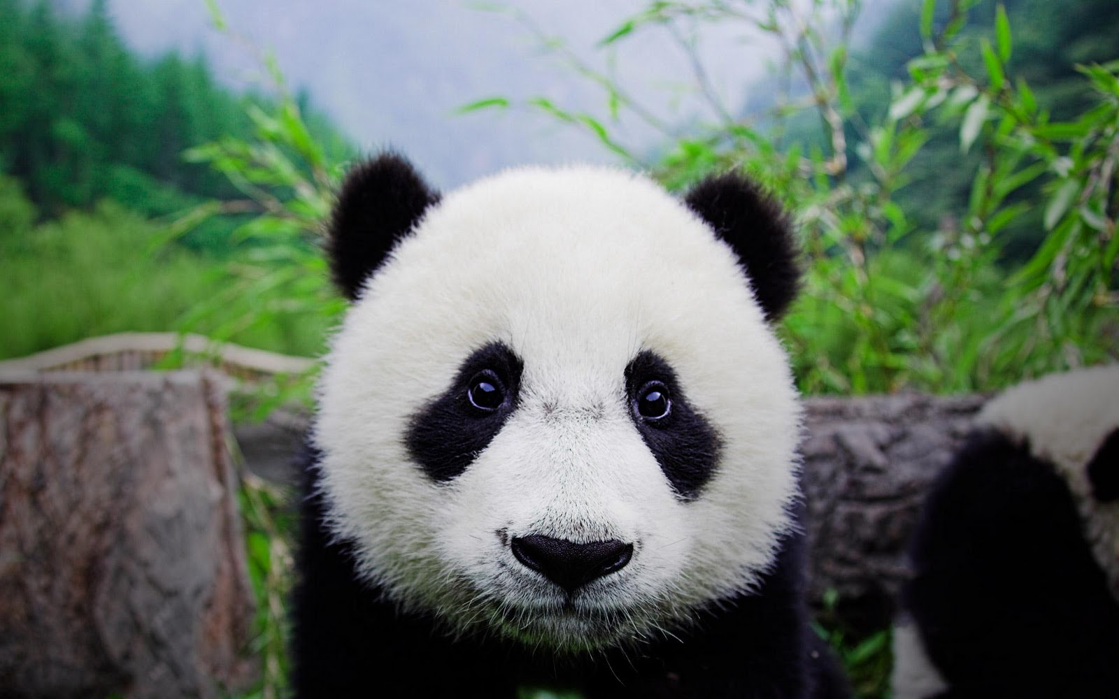 Cute Panda Bears HD Wallpapers Download Wallpapers in HD for your 1600x1000