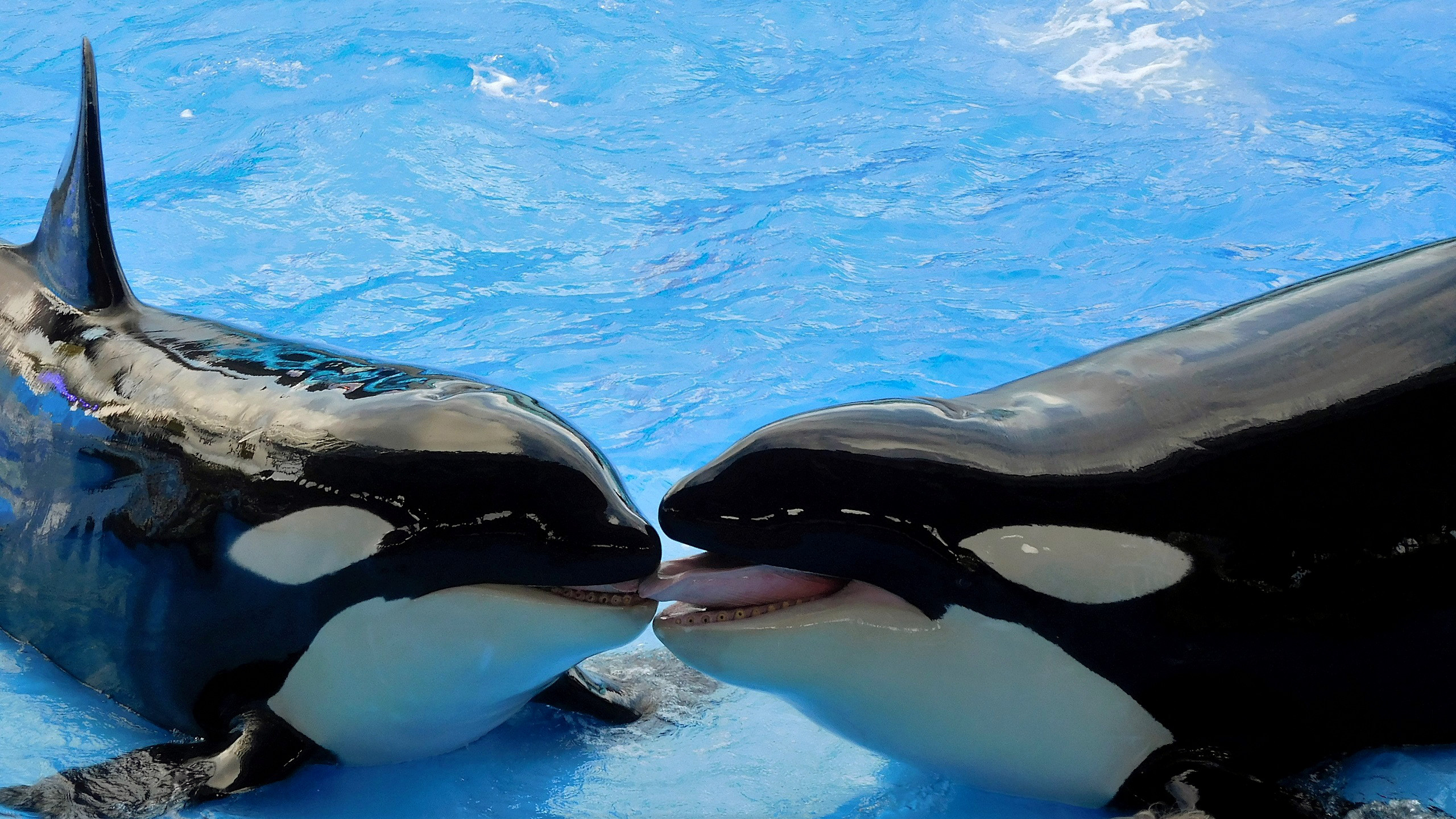 Free Download Orca Or Killer Whale Barbaras Hd Wallpapers