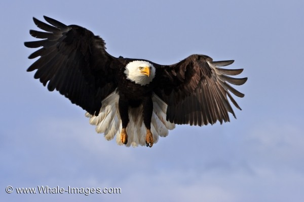 american bald eagle picture bald eagle haliaeetus leucocephalus alaska 600x399