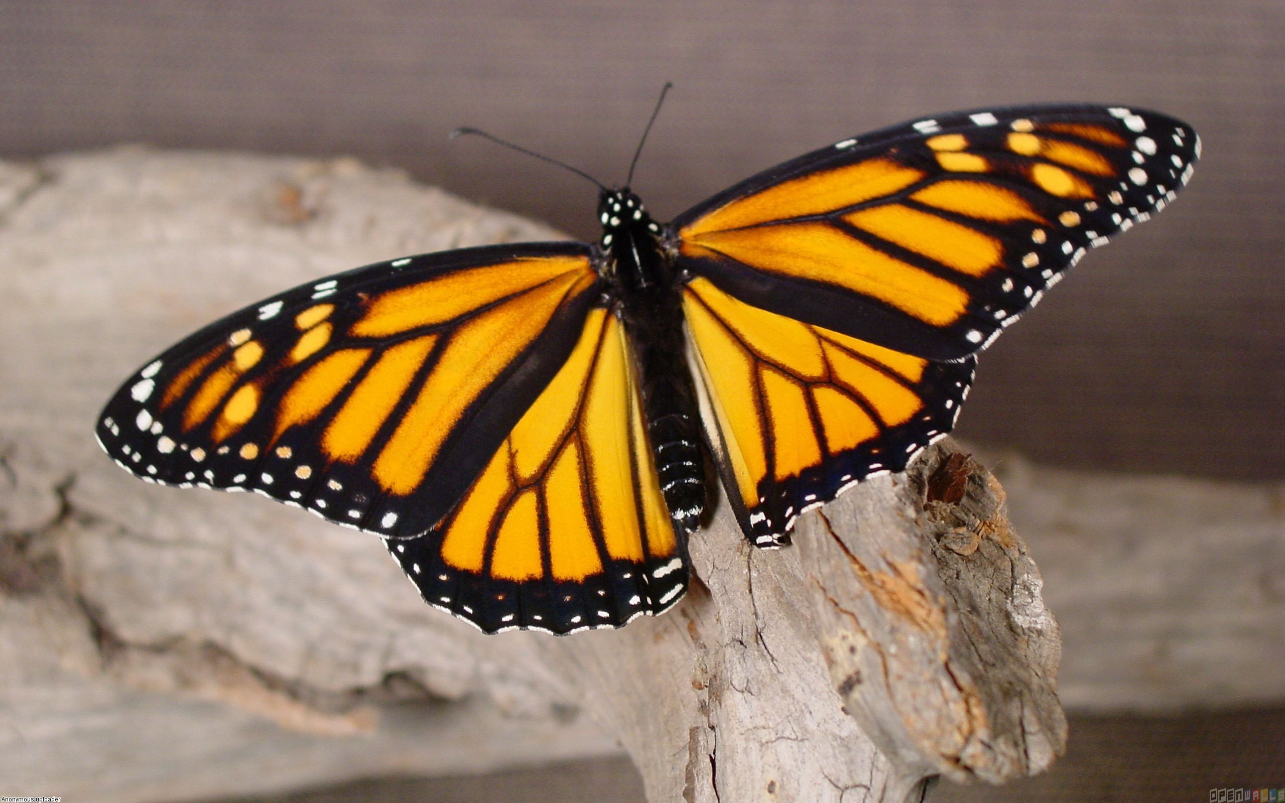 Monarch Butterfly 3 Cool Wallpaper Wallpaper 2560x1600