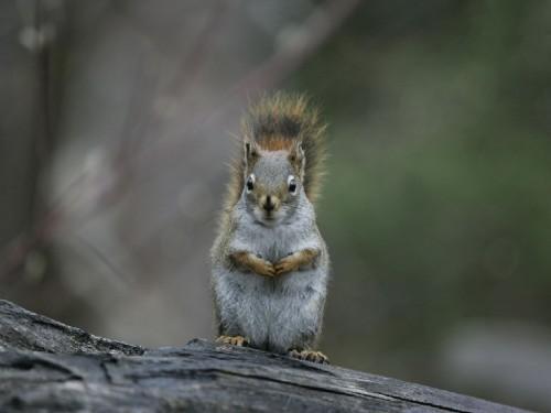 Screensavers and wallpaper squirrels wallpapersafari - Funny squirrel backgrounds ...