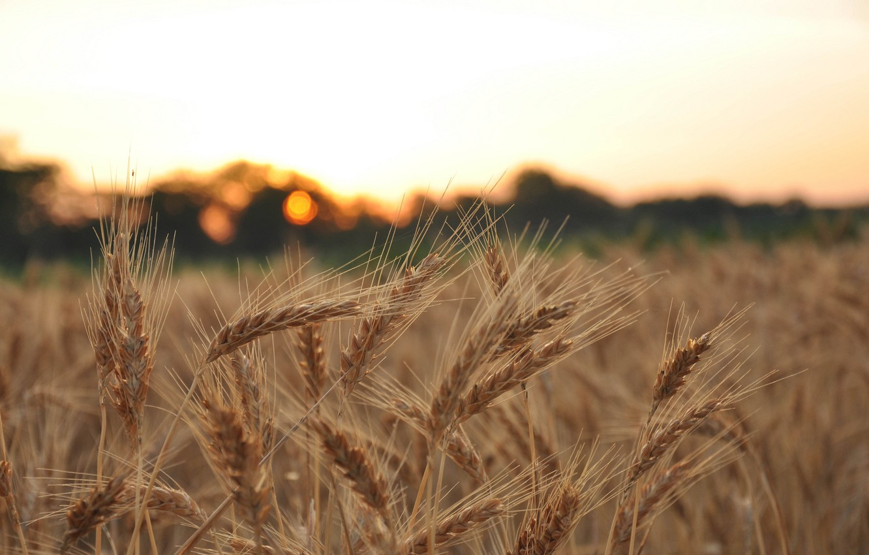 Wallpaper wheat field macro background widescreen Wallpaper 1332x850