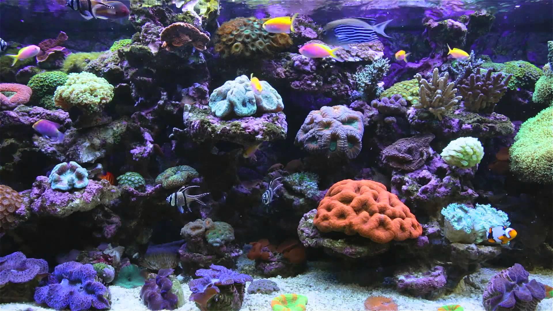 Saltwater fish wallpaper and screensavers wallpapersafari - Fish tank screensaver pc free ...