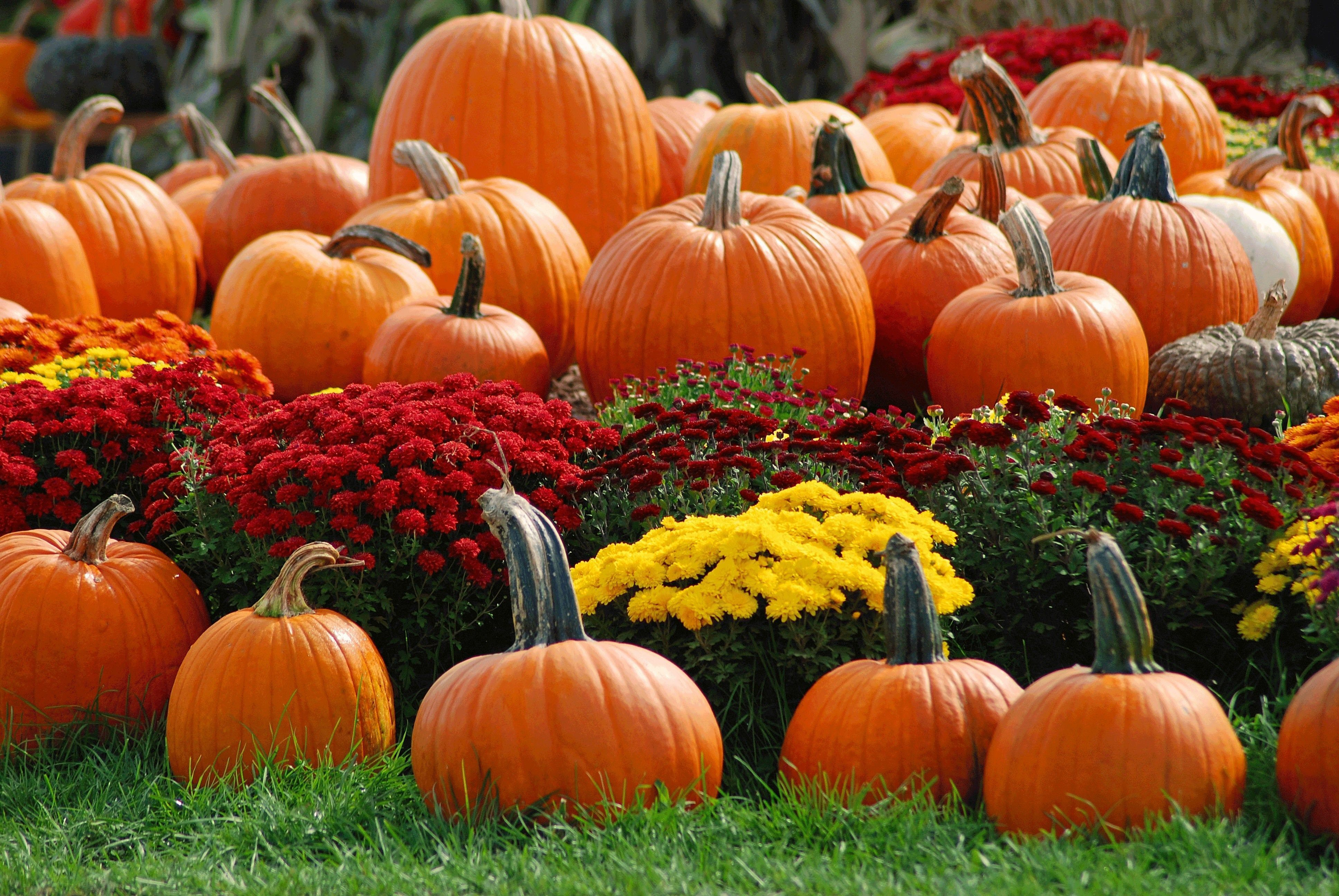 30 Fall Mums and Pumpkins Wallpapers   Download at WallpaperBro 3872x2592