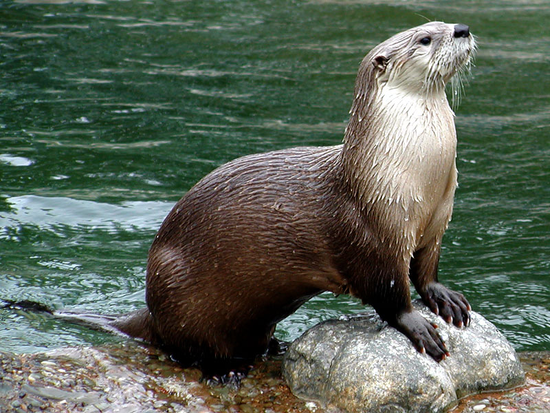 The River Otter Interesting Sea Animal The Wildlife 800x600
