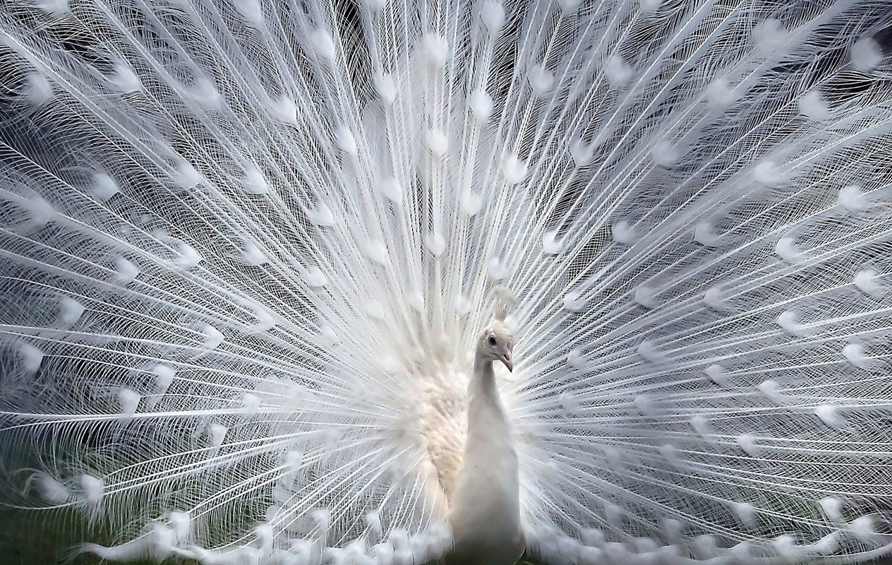 20 Beautiful Pictures Of White Peacocks 1264x800
