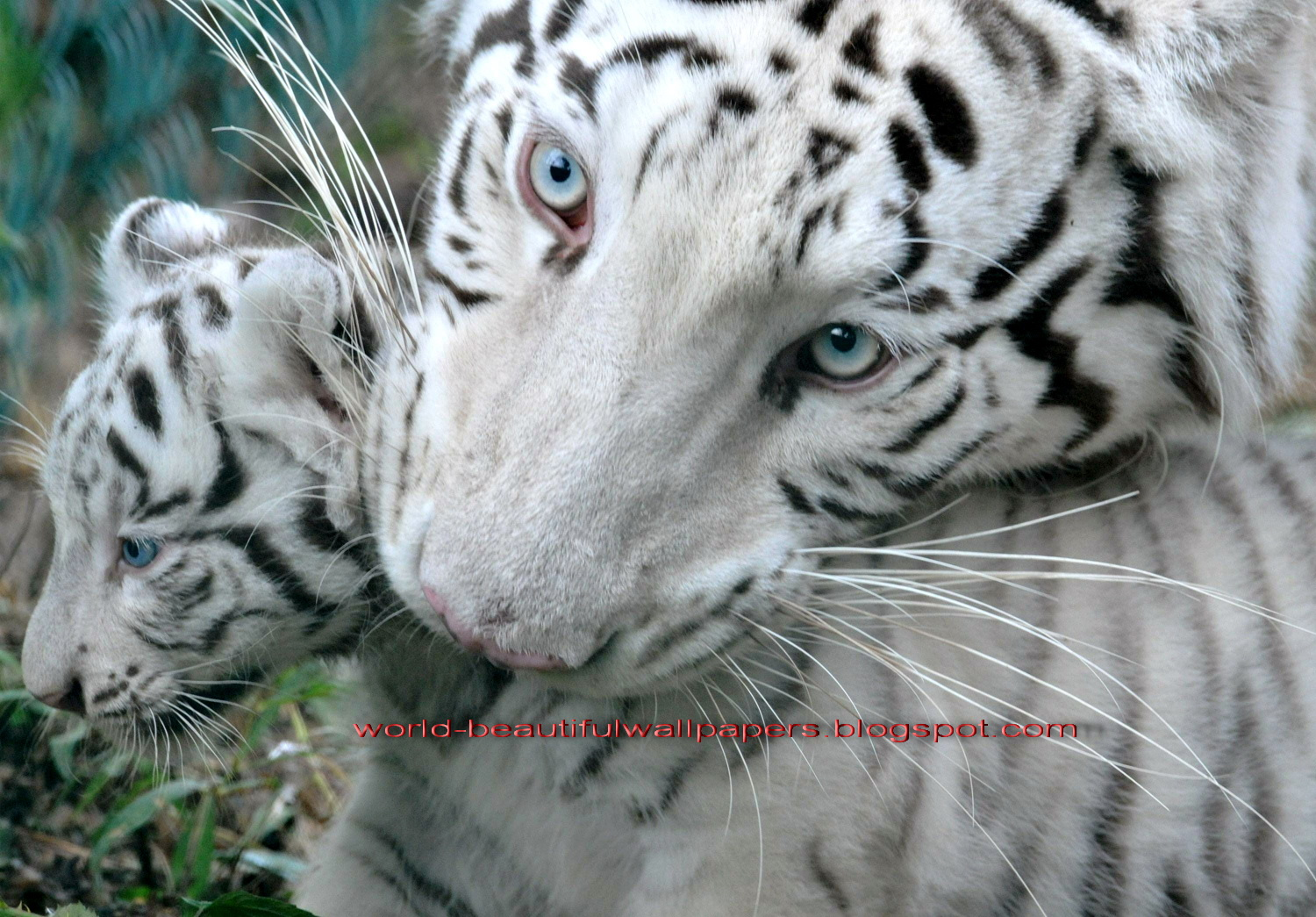 Beautiful Wallpapers white bengal tiger pictures 1500x1045