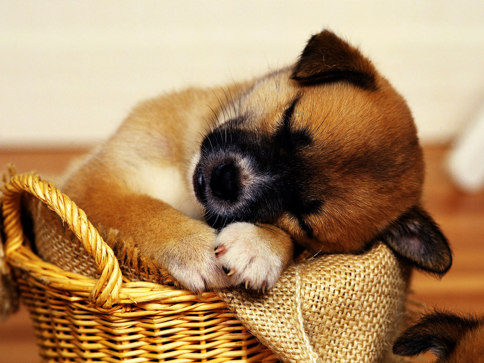 Cute Puppies HD Wallpapers Collection HD Wallpapers Backgrounds 1600x1200