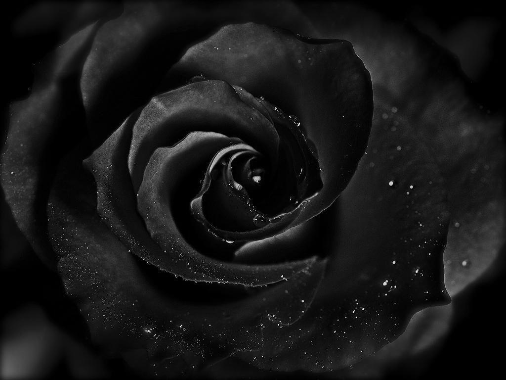 1024x768px black roses wallpaper wallpapersafari black rose wallpapers hd pictures live hd wallpaper hq 1024x768 altavistaventures
