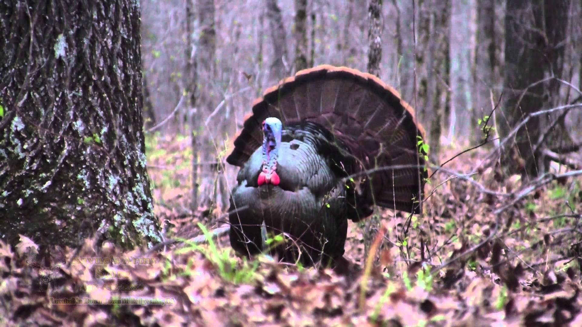 Spring Turkey Hunting Wallpaper 58 images 1920x1080