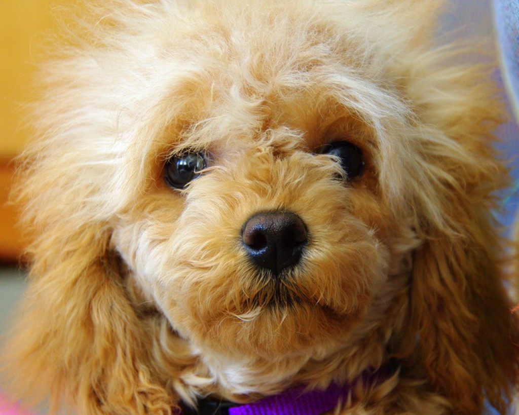 Black Toy Poodle Puppies Wallpaper 1280 800 1024x819