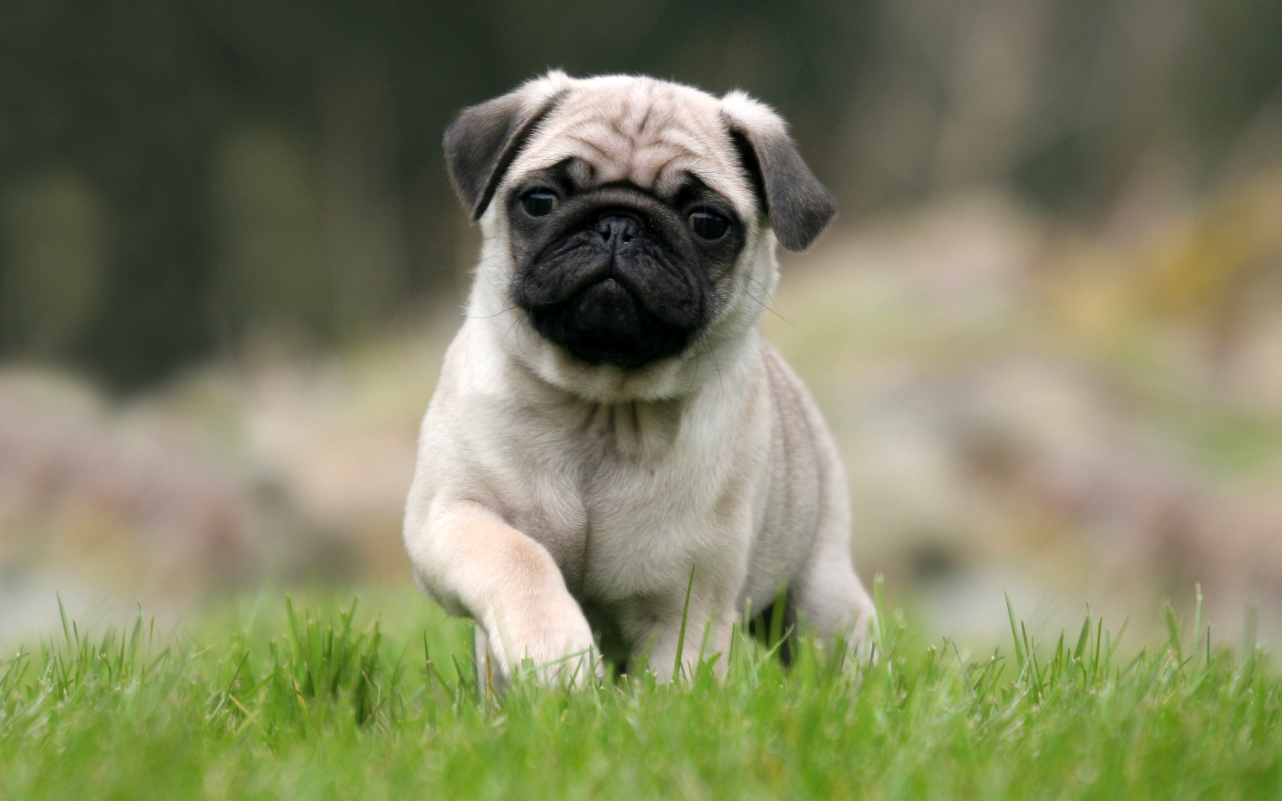Pug Puppy Wallpaper