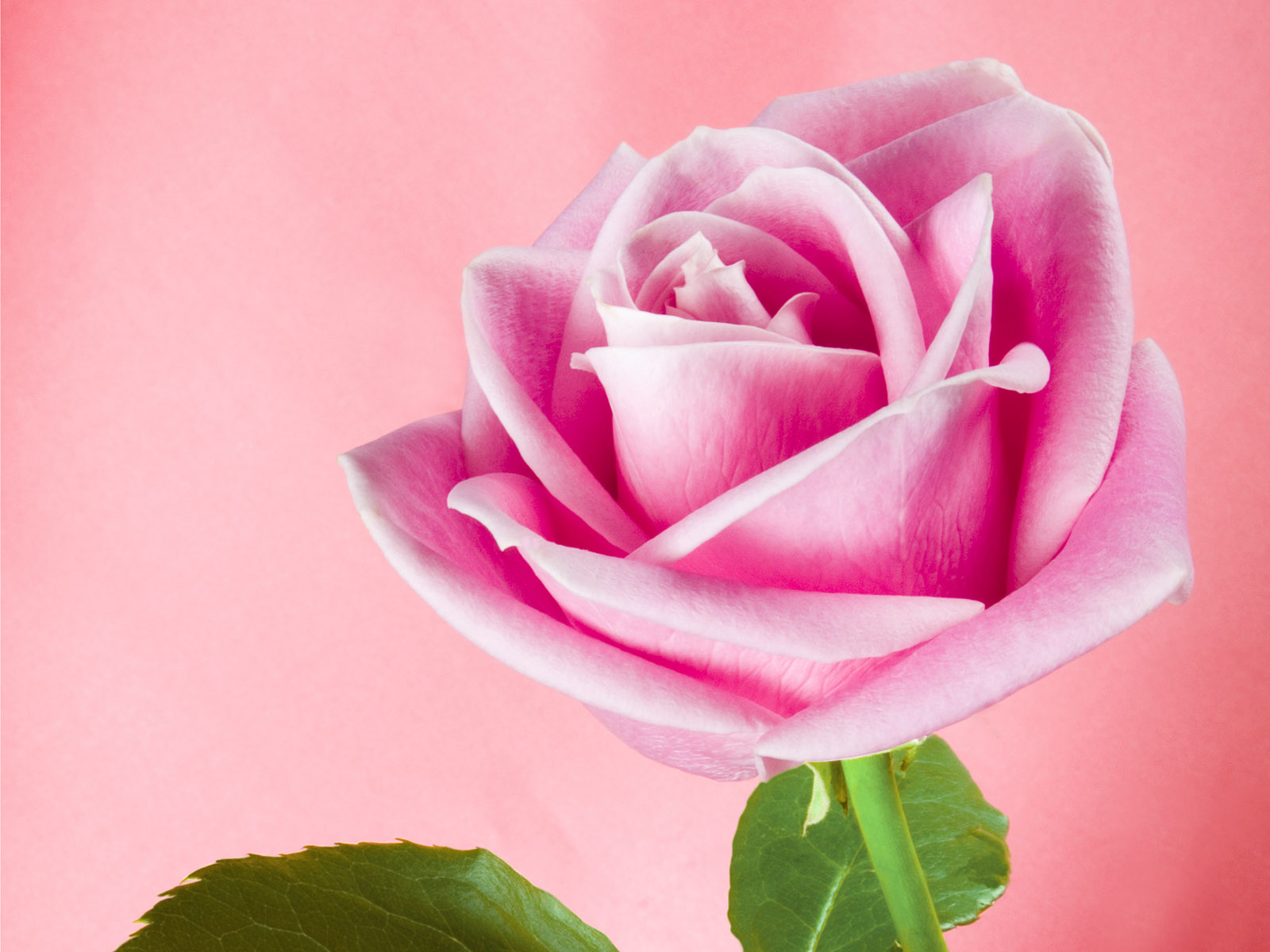 Pretty Pink Roses Wallpaper   Pink Color Photo 34590751 1600x1200