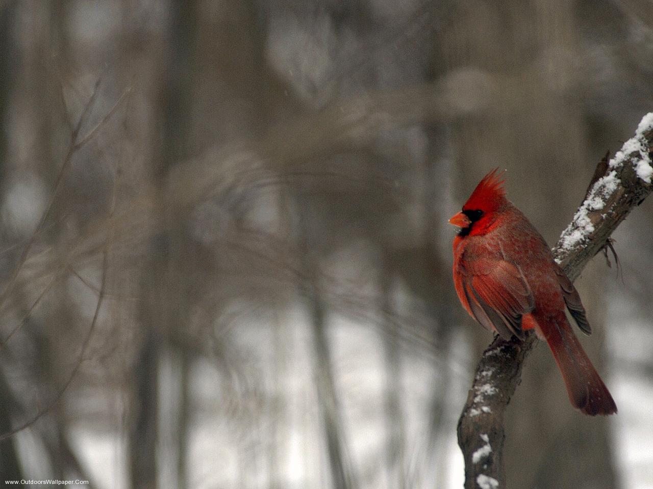 Cardinal Bird Desktop Wallpaper HD Birds Desktop Hd Wallpaper 1280x960