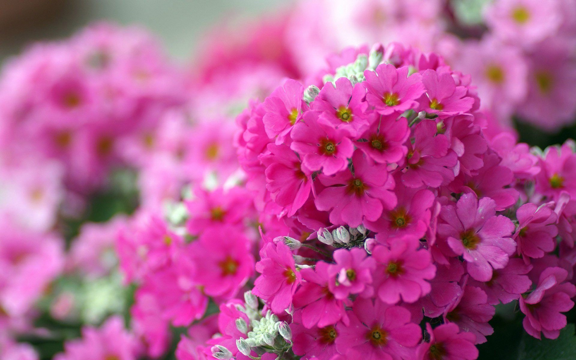 Small pink flowers wallpaper 13280 1920x1200