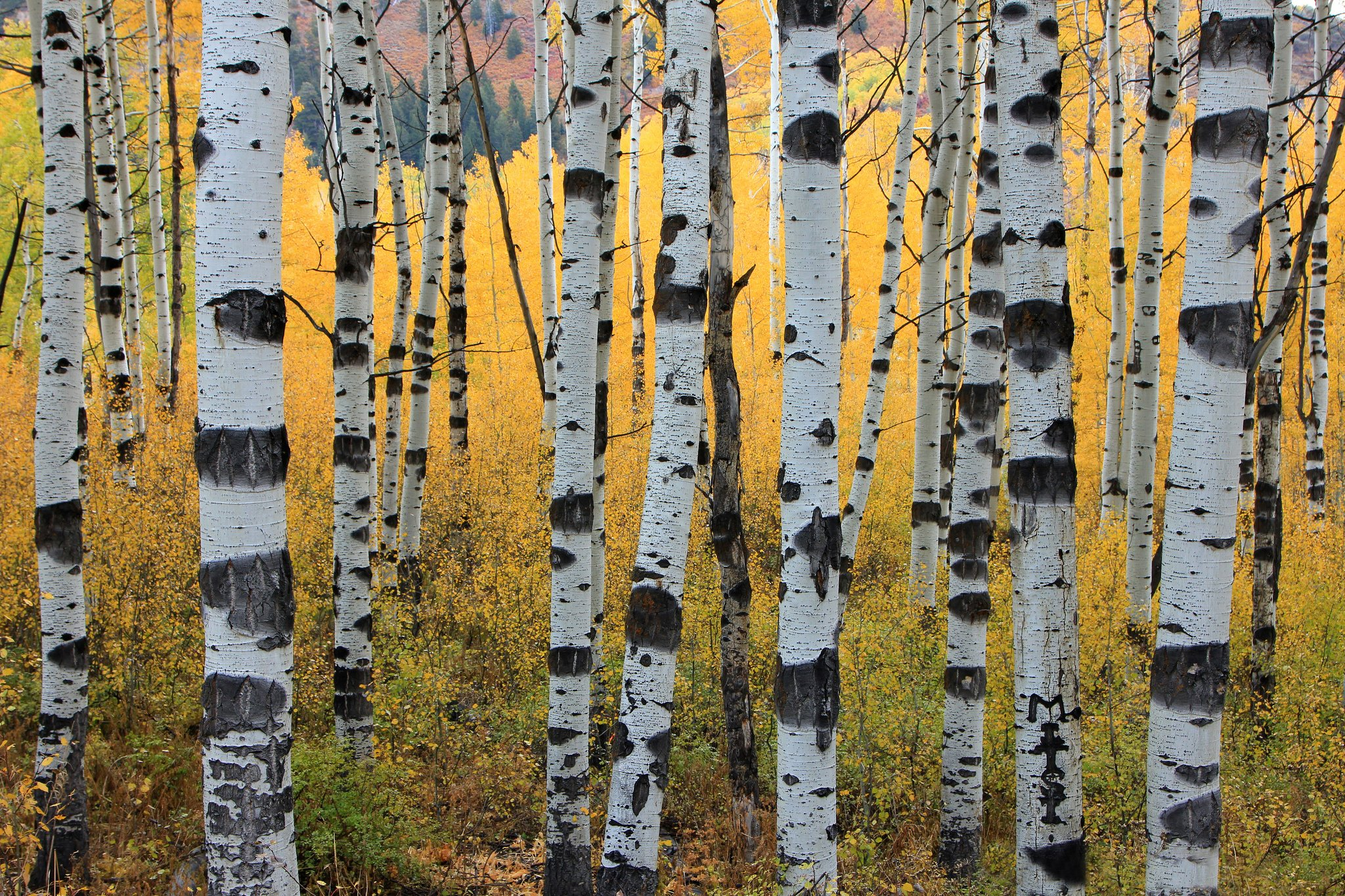 aspen trees wallpaper 2048x1365