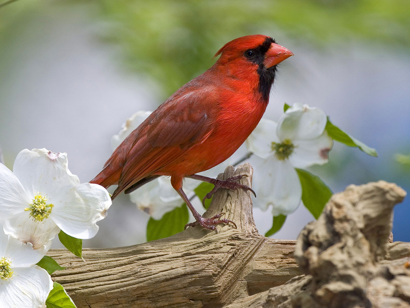 Cardinal Bird Download Blackberry iPhone Desktop and Android 1600x1200