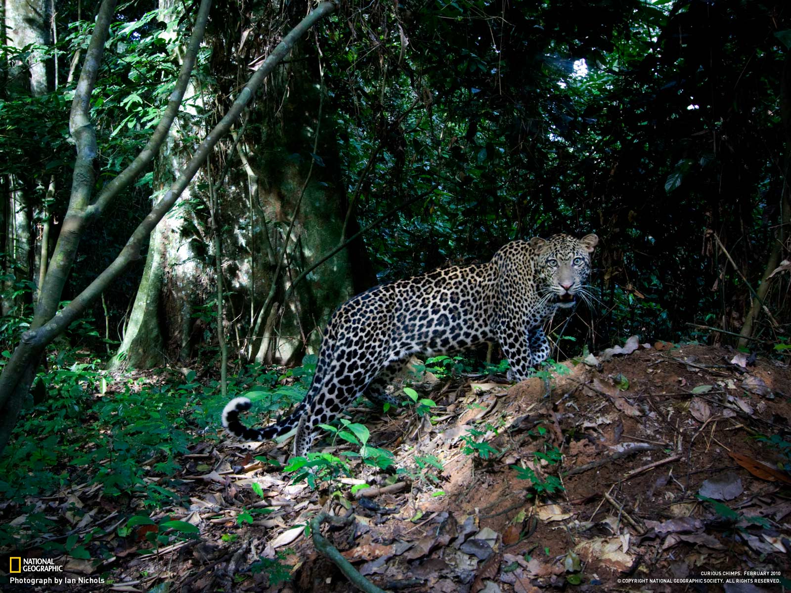 Badass picture [National Geo   Congo Leopard] TMB 1600x1200