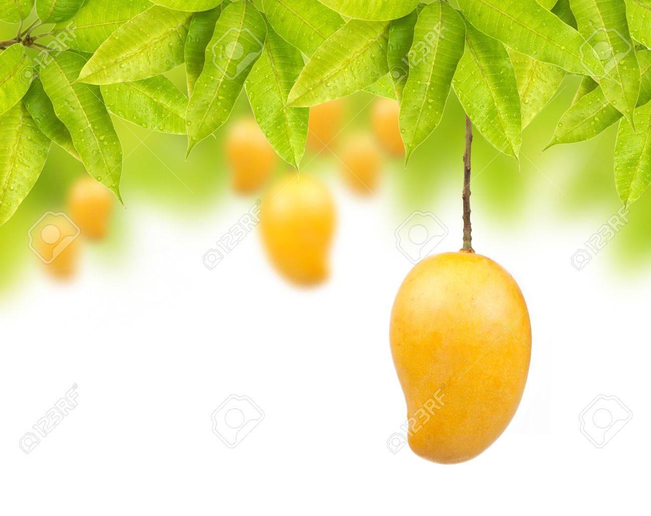 Mango On Tree With Leaf Isolated White Background Stock Photo 1300x1030