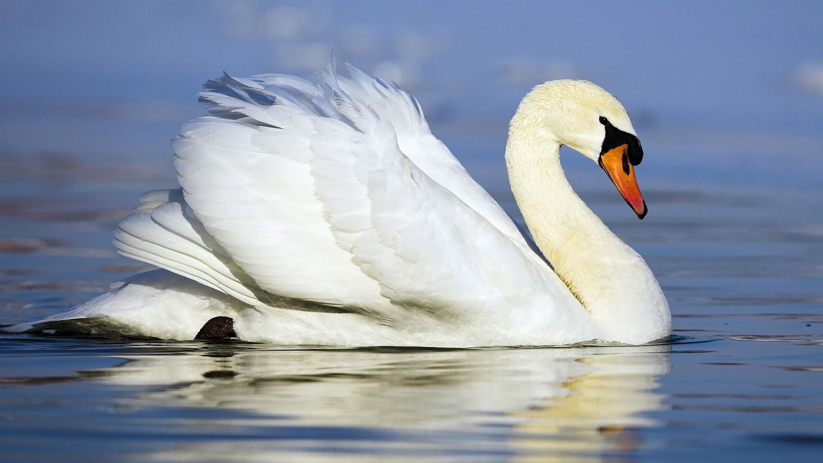wallpaper of a beautiful white swan swimming HD swan wallpaper 1600x900