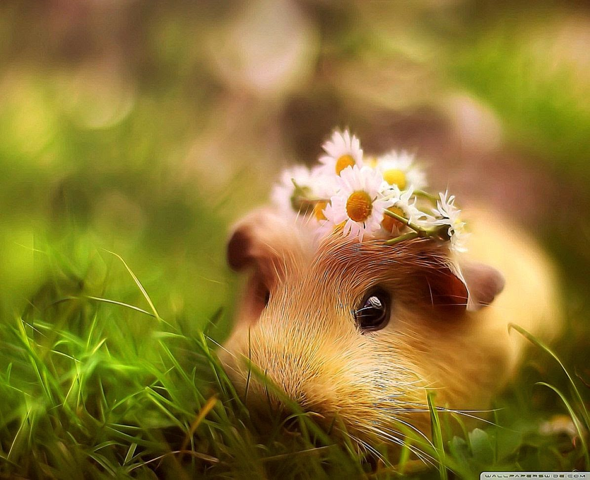 Cute Guinea Pig HD desktop wallpaper Widescreen High 1195x972