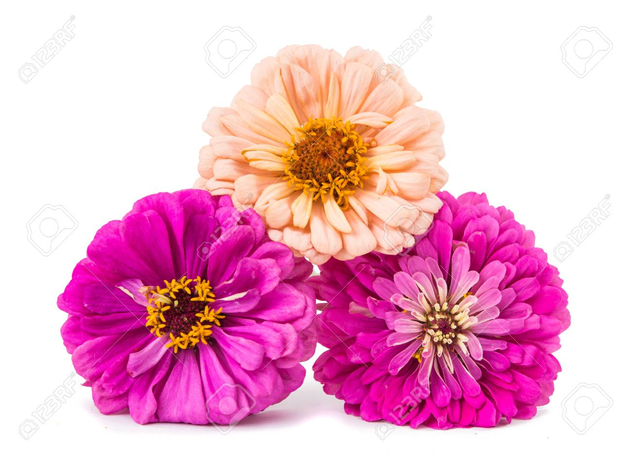 Isolated Zinnia Flower On White Background Stock Photo Picture 1300x949