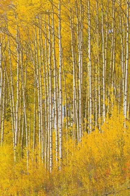 Aspen tree wallpaper for home wallpapersafari for Aspen tree wall mural