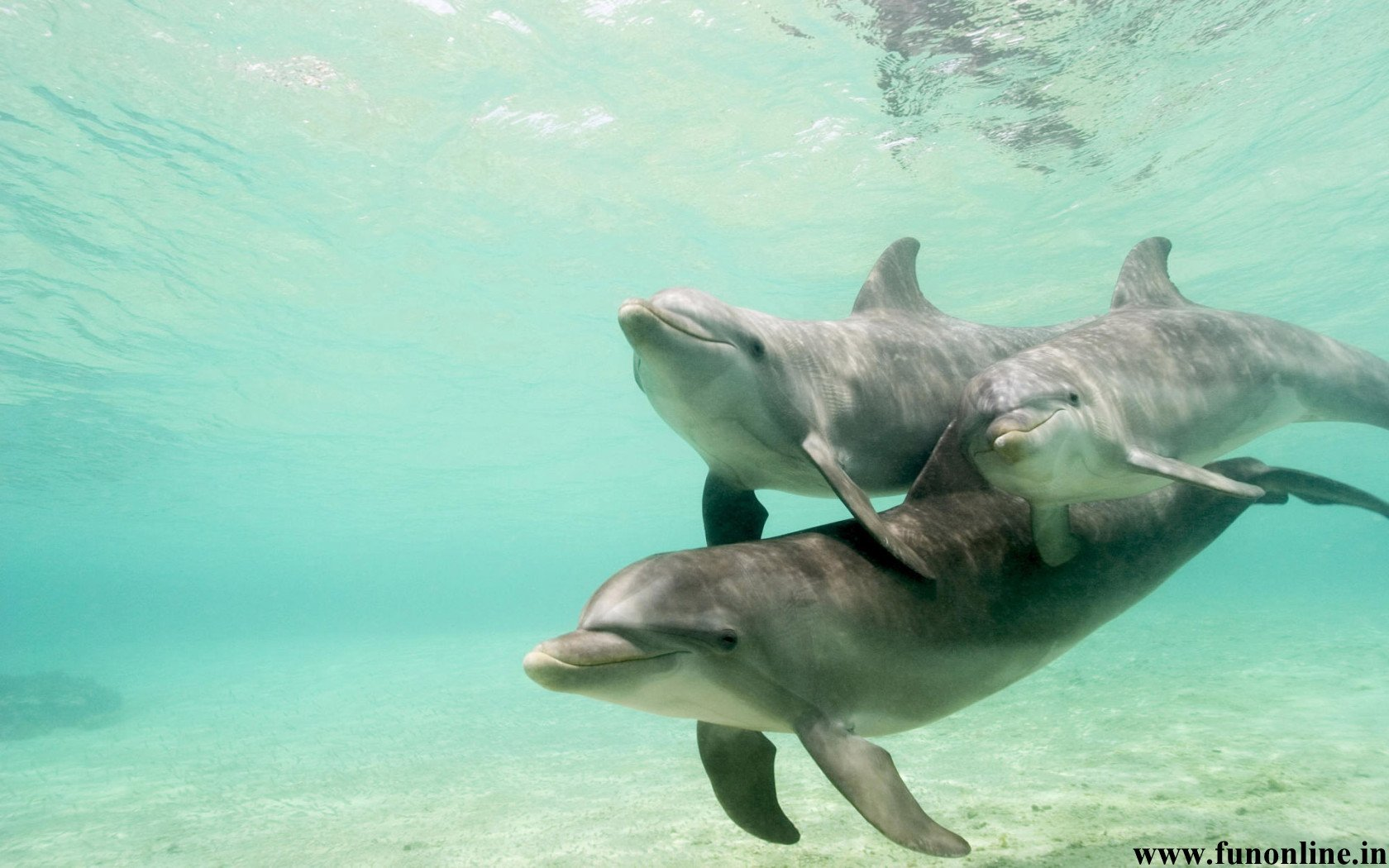 Dolphin Wallpapers Download Friendly Fish Dolphins Wallpaper 1680x1050
