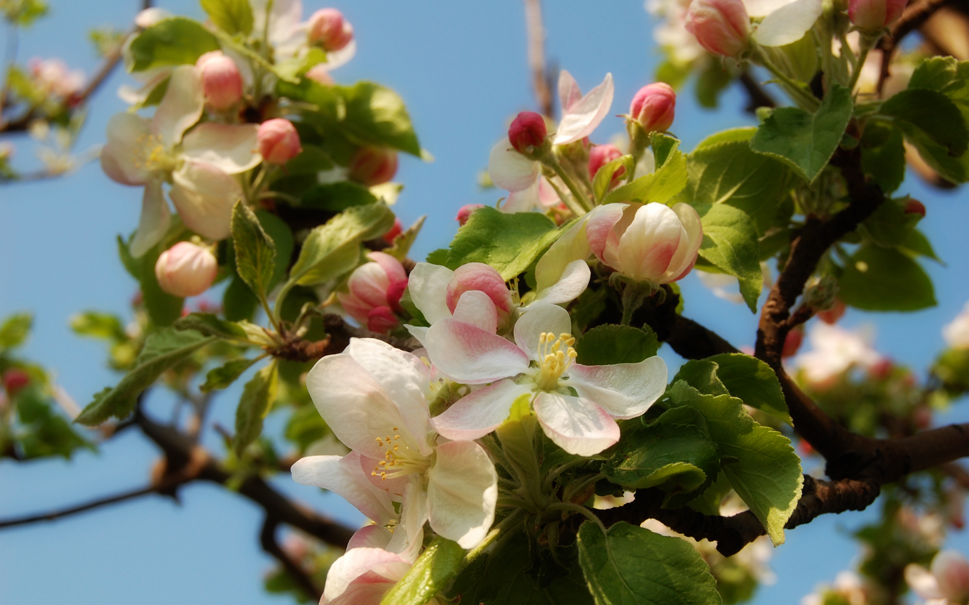Apple Blossom wallpaper   232438 1920x1200