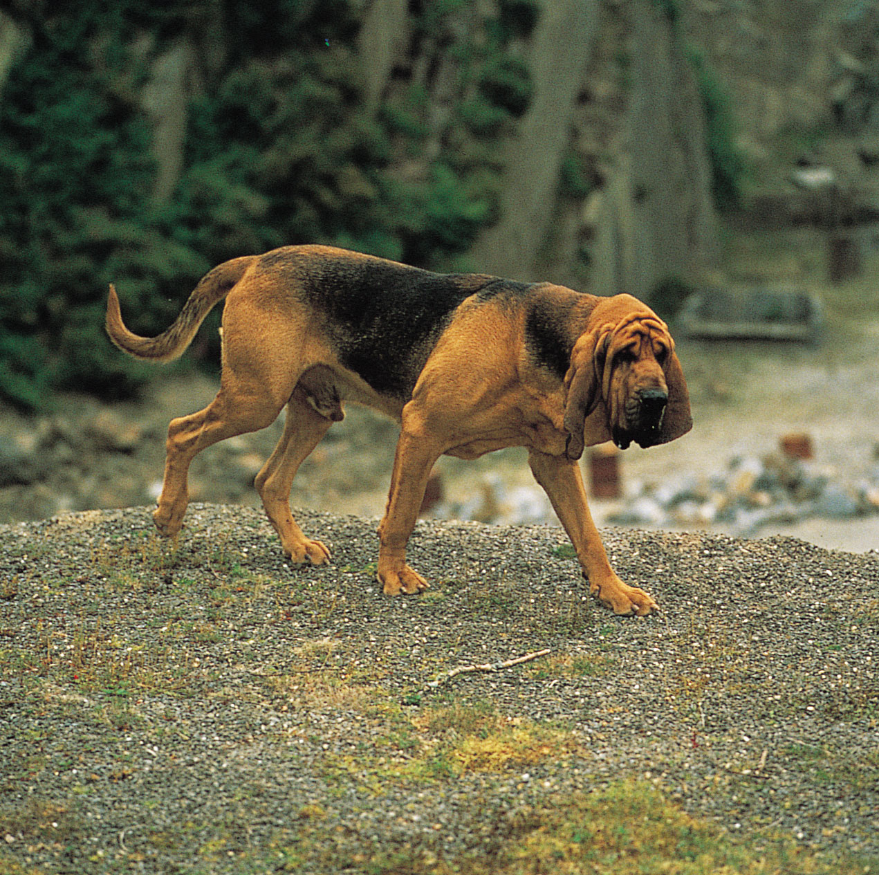 download Bloodhound Puppies Dog Wallpaper Picture Cute and 1271x1265