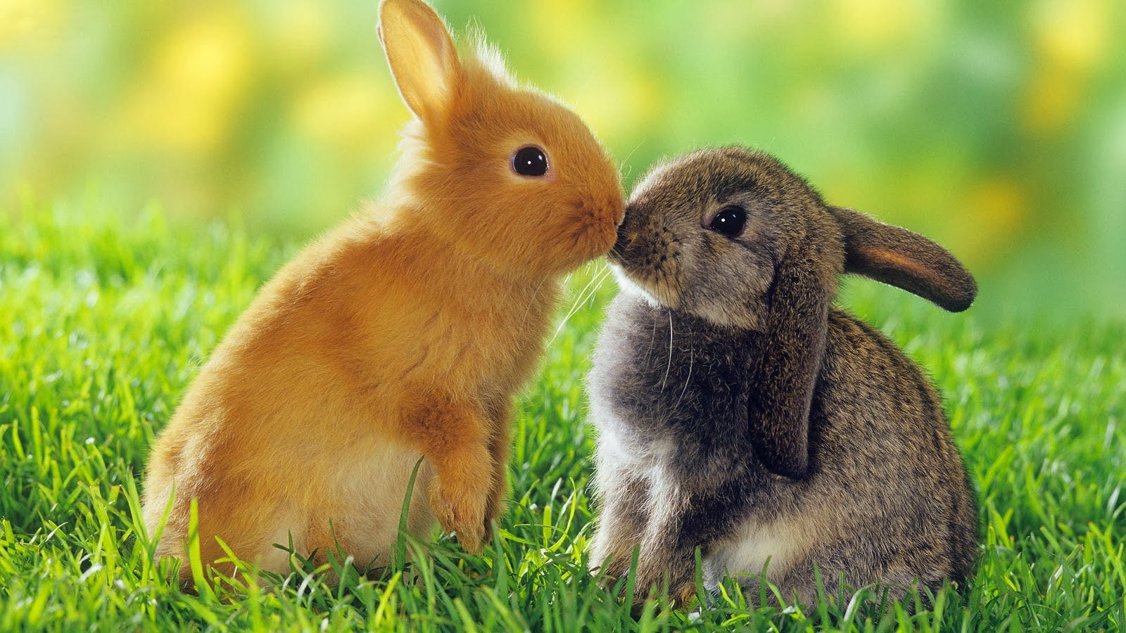 HD Wallpapers Downloads Beautiful Baby Rabbits Wallpapers 1600x900
