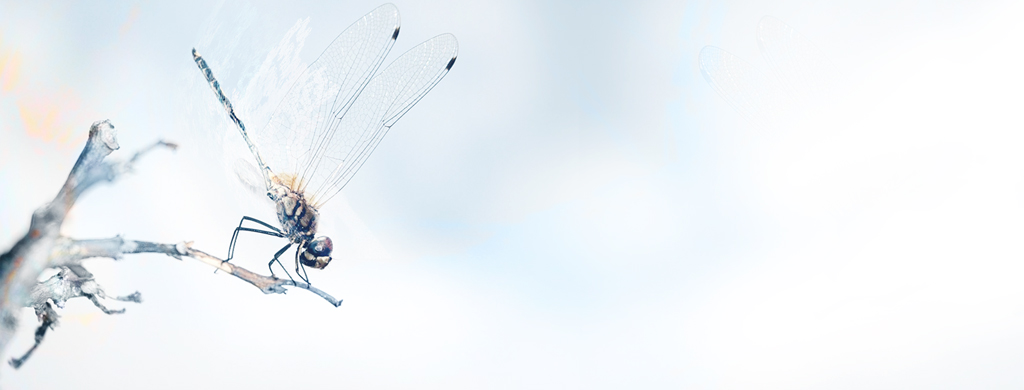 Dragonfly Wallpaper Pack Jky 1024x390