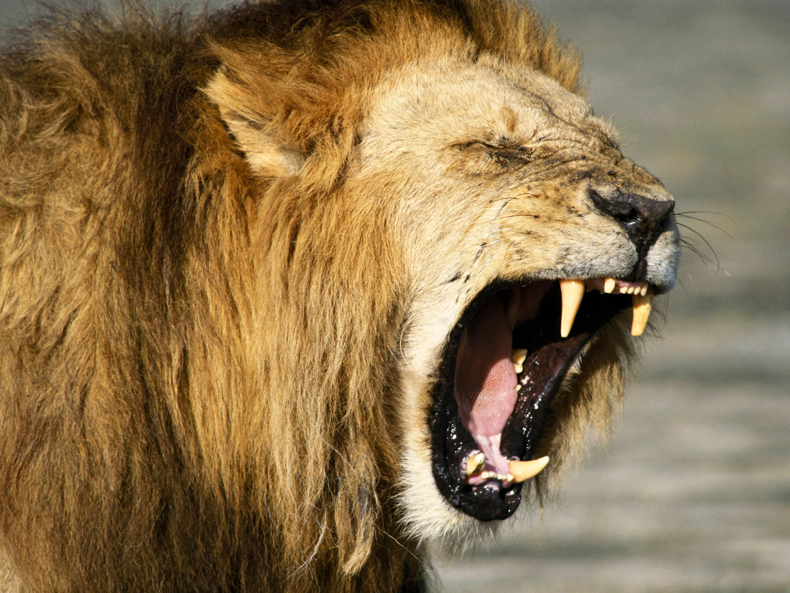 Lion face angry