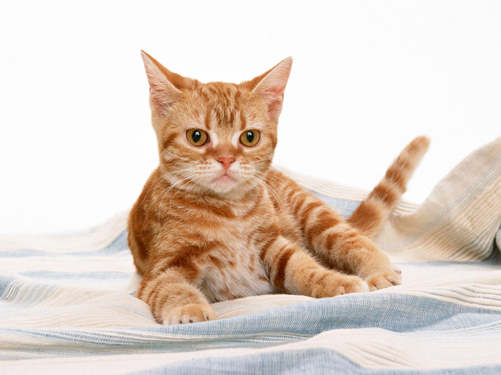Animal Wallpapers Animal Cat Wallpapers 1600x1200