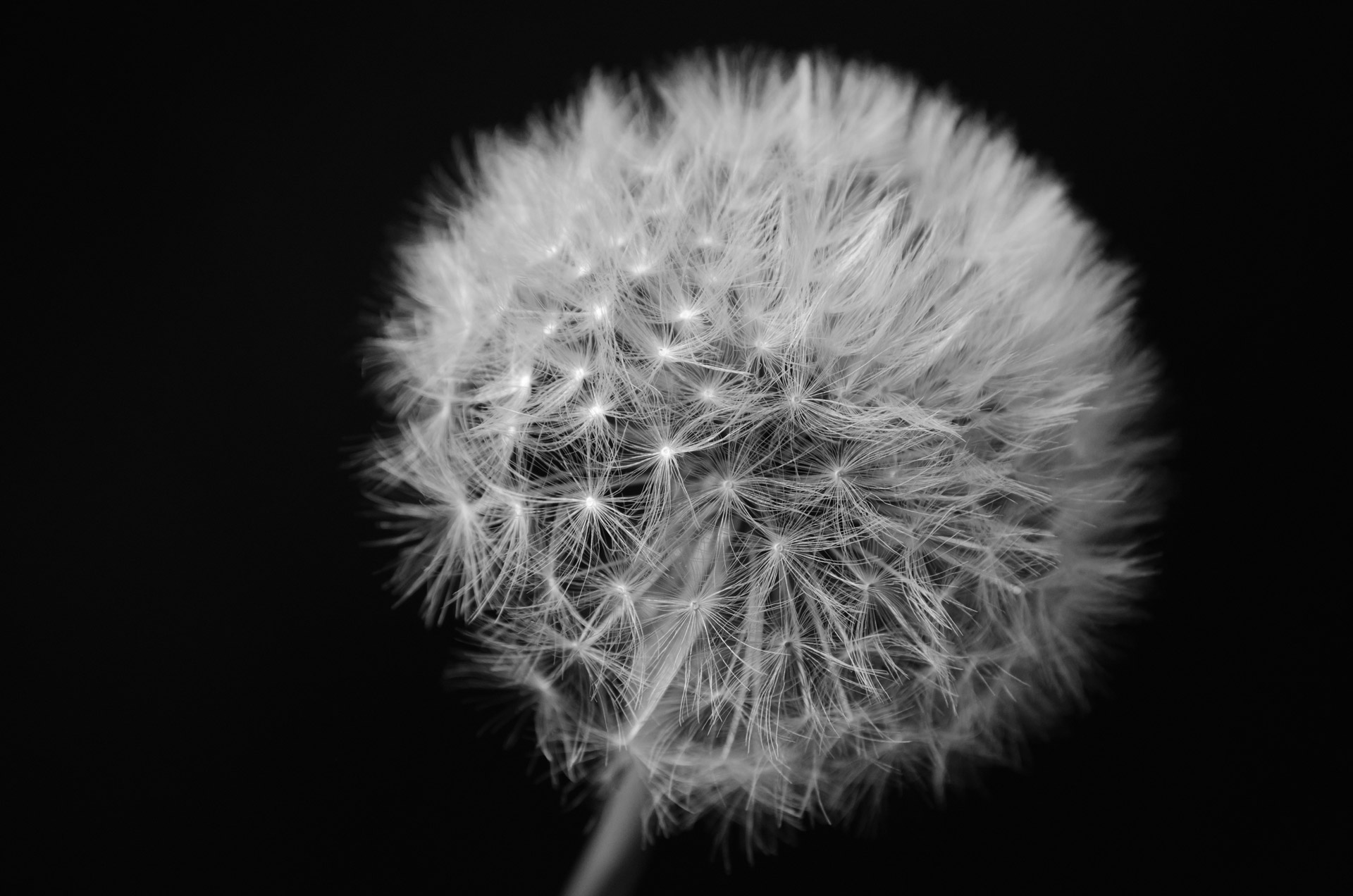 Dandelion On Black Background Stock Photo HD   Public Domain 1920x1272