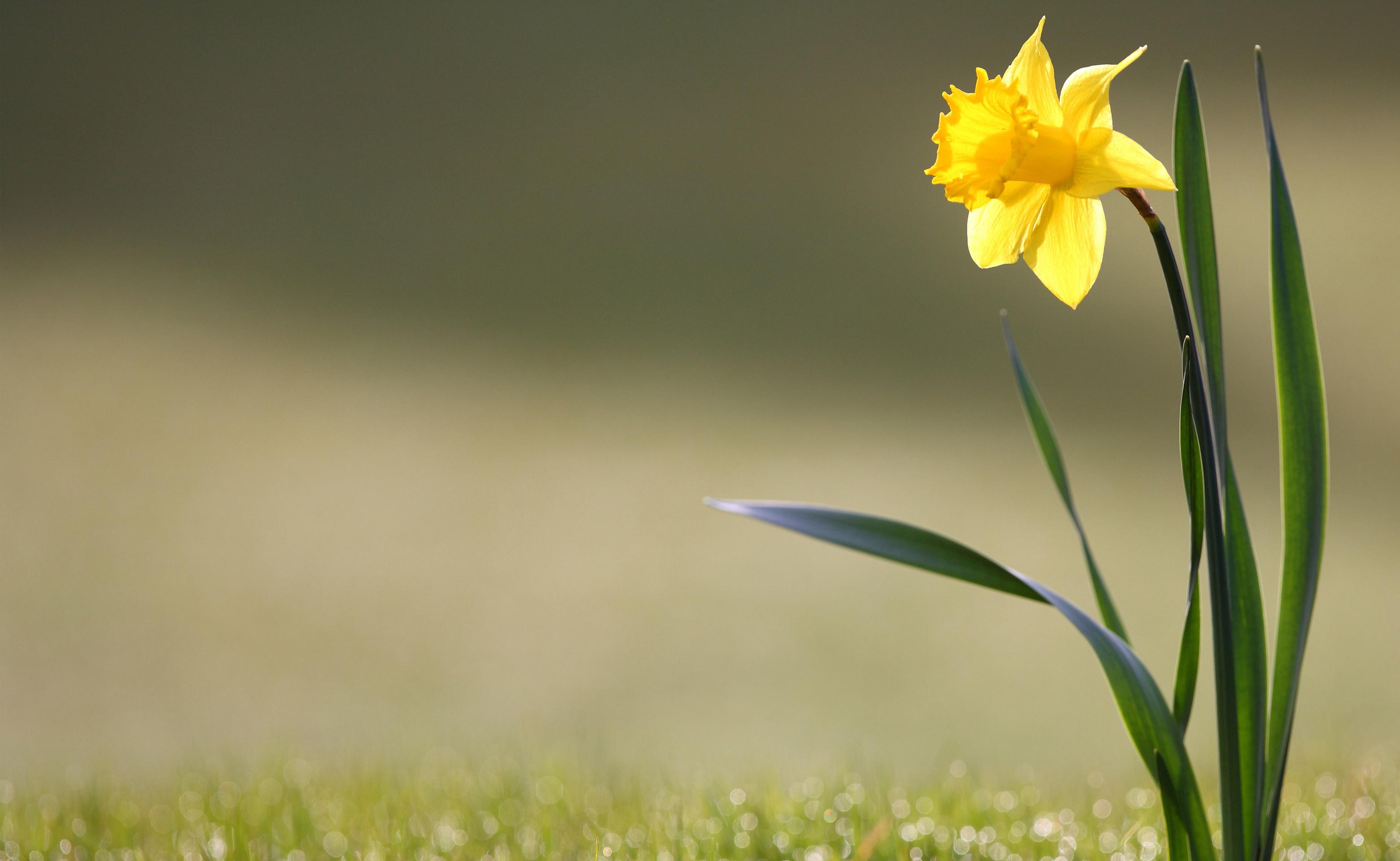 HD Daffodil Wallpapers Download   783383 3120x1920
