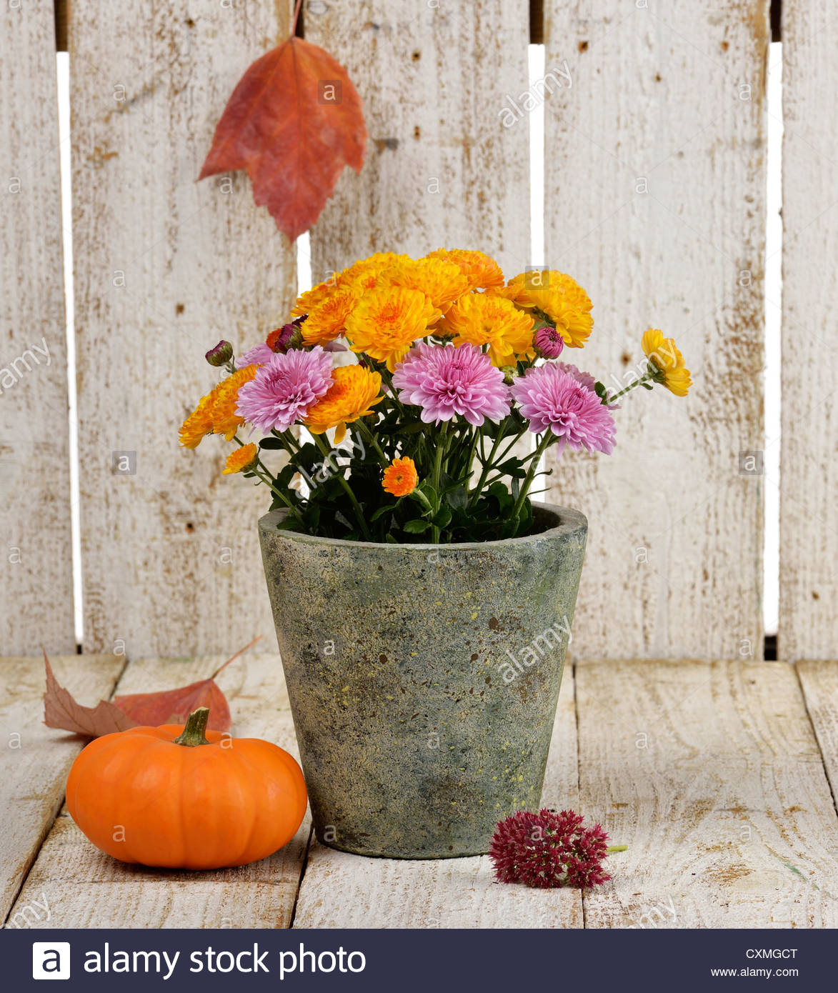 Mums Flowers And A Pumpkin On Wooden Background Stock Photo 1173x1390