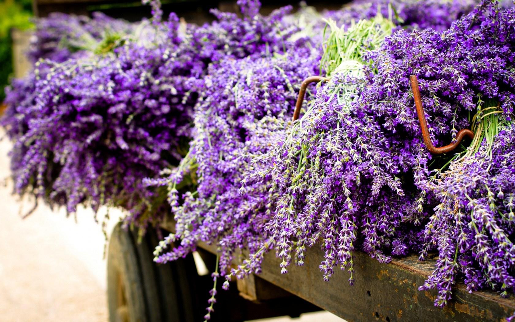 lavender flowers purple trailer wallpaper 1680x1050   Magic4Wallscom 1680x1050