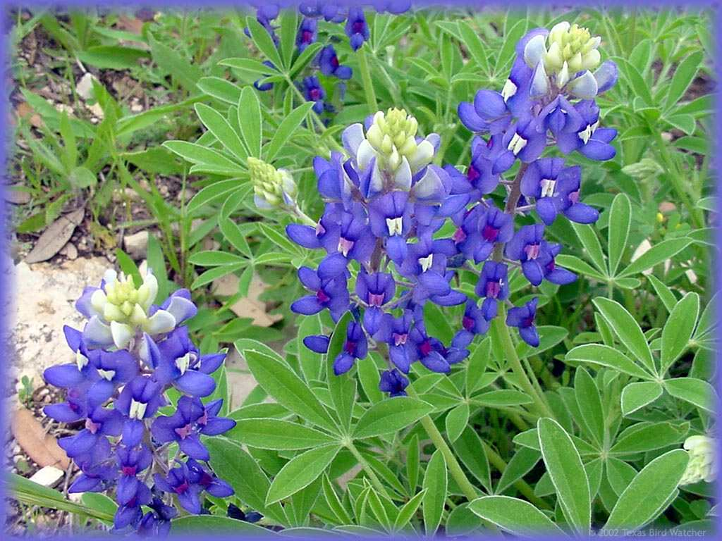 Texas Bluebonnet Flowers Desktop Wallpaper Background   Free Vector ...