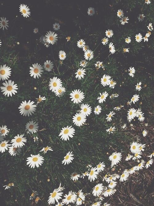 daisy flowers iphone wallpaper Tumblr 500x667