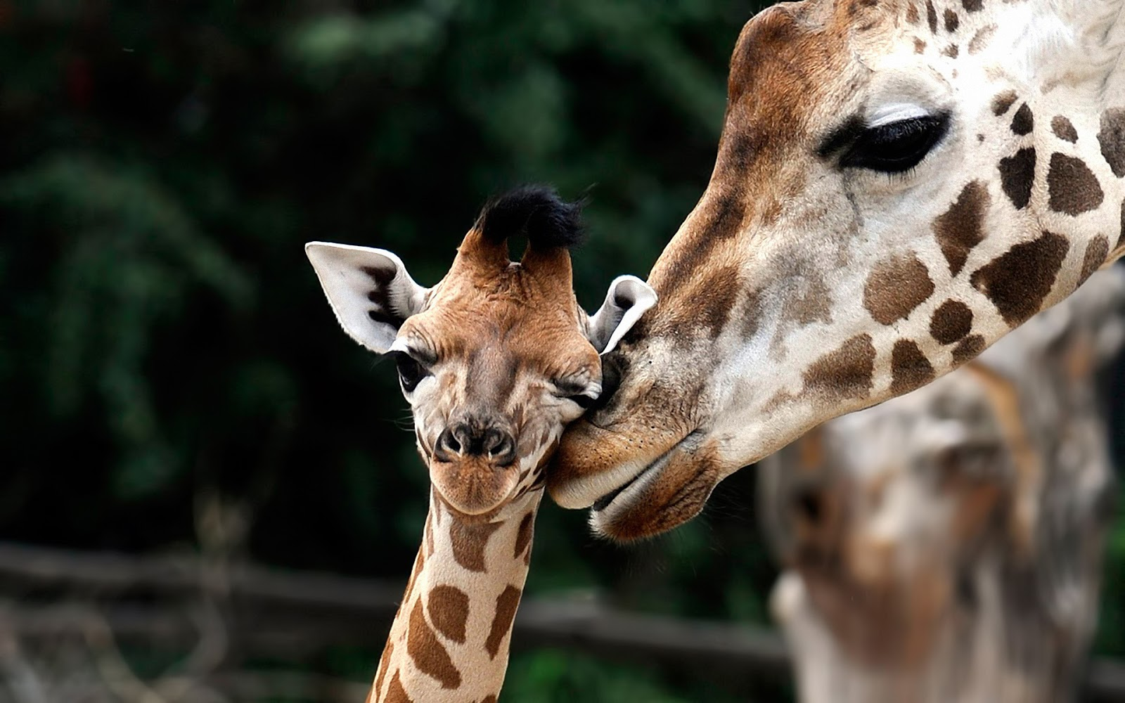 Cute wallpaper of giraffes HD Animals Wallpapers 1600x1000