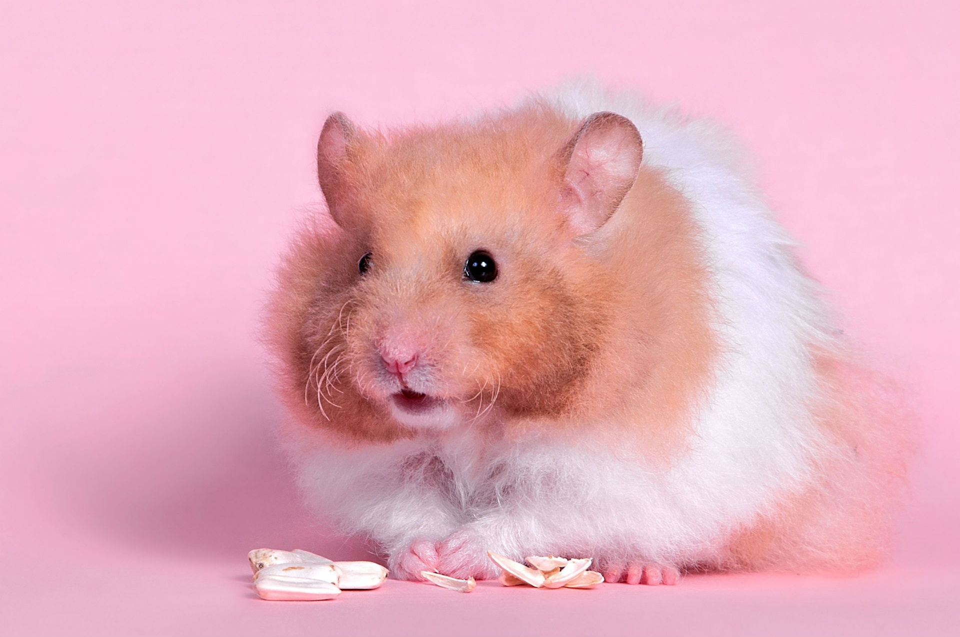 Cute Hamster Background Wallpapers 20000   Baltana 1920x1275