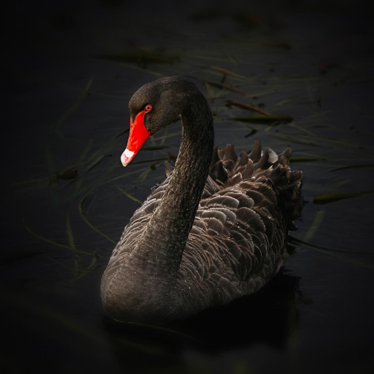 Black Swan wallpaper 1280x1280 1280x1280