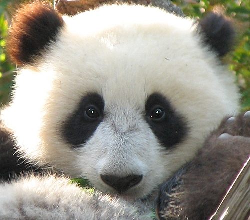 baby panda desktop wallpaper 500x439