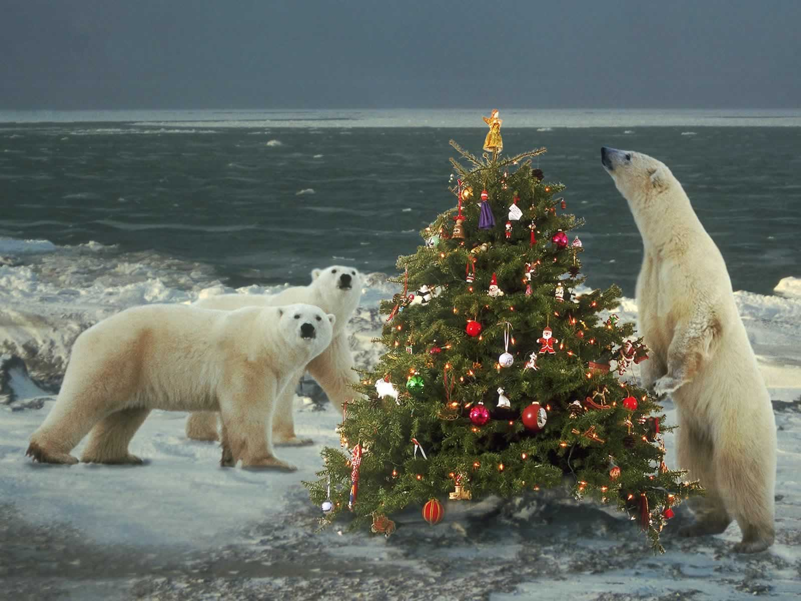 Polar Bears Wild About Christmas   Christmas Animals Wallpaper Image 1600x1200