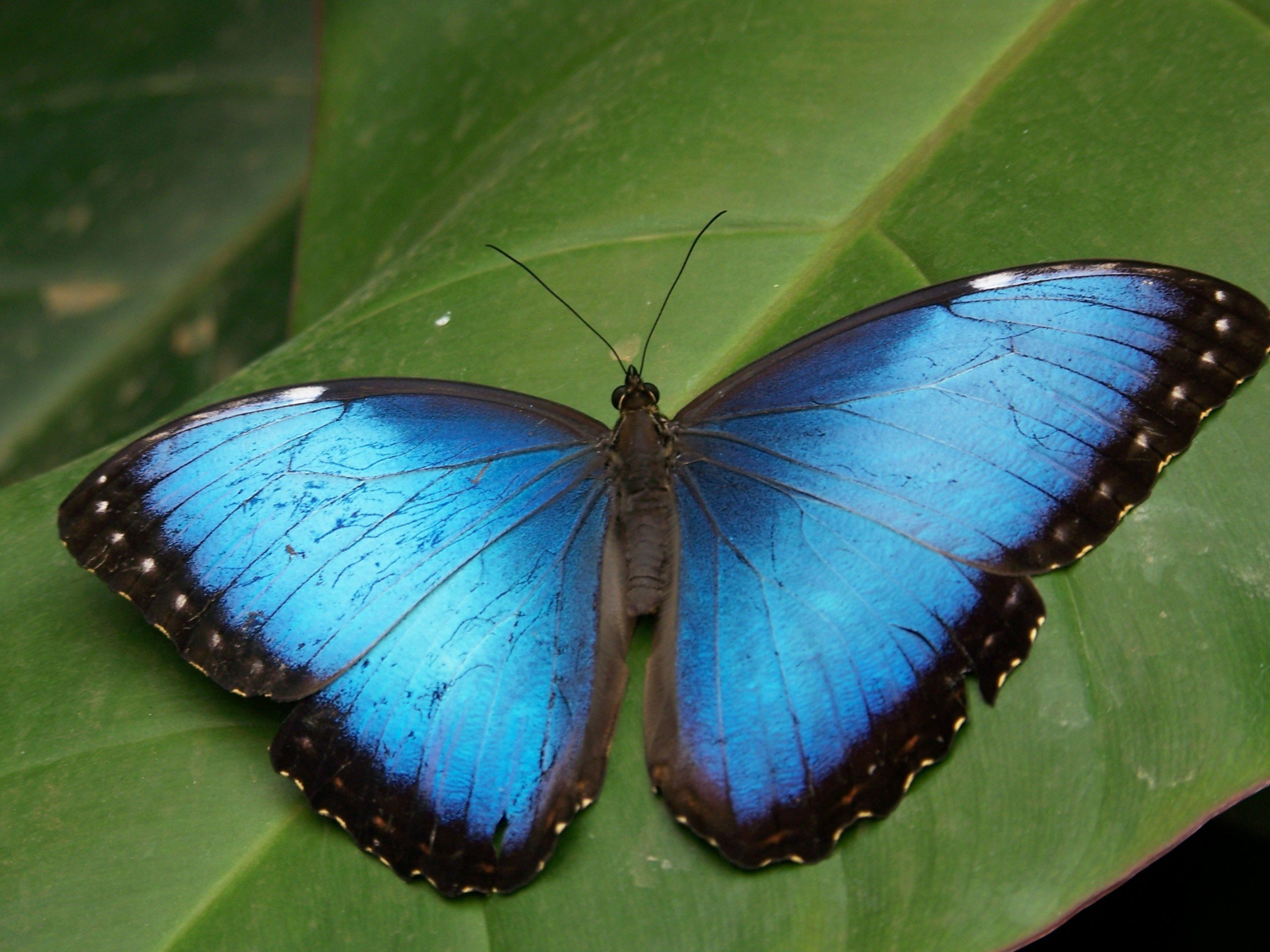 Blue Butterfly wallpapers Blue Butterfly stock photos 2560x1920