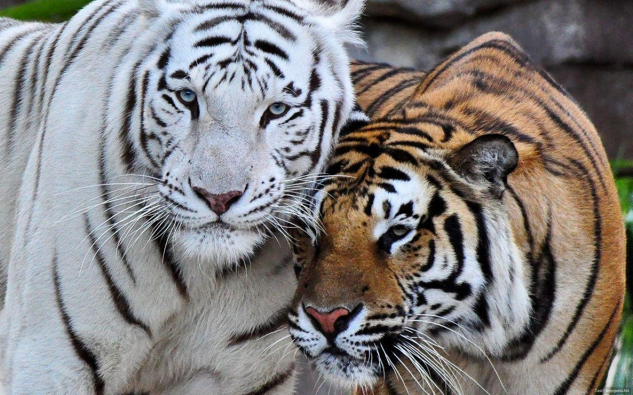 White Bengal Tiger Wallpapers 1280x800