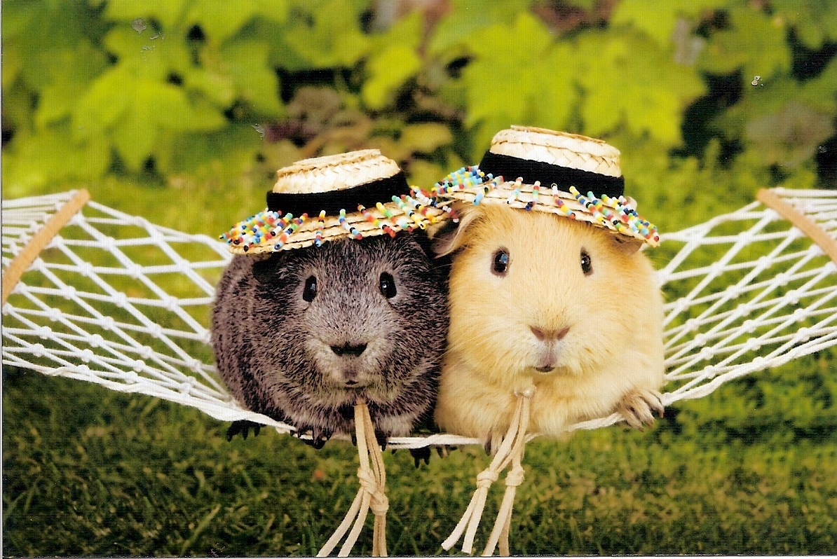 Funny Guinea Pig picture for widescreen 1194x798