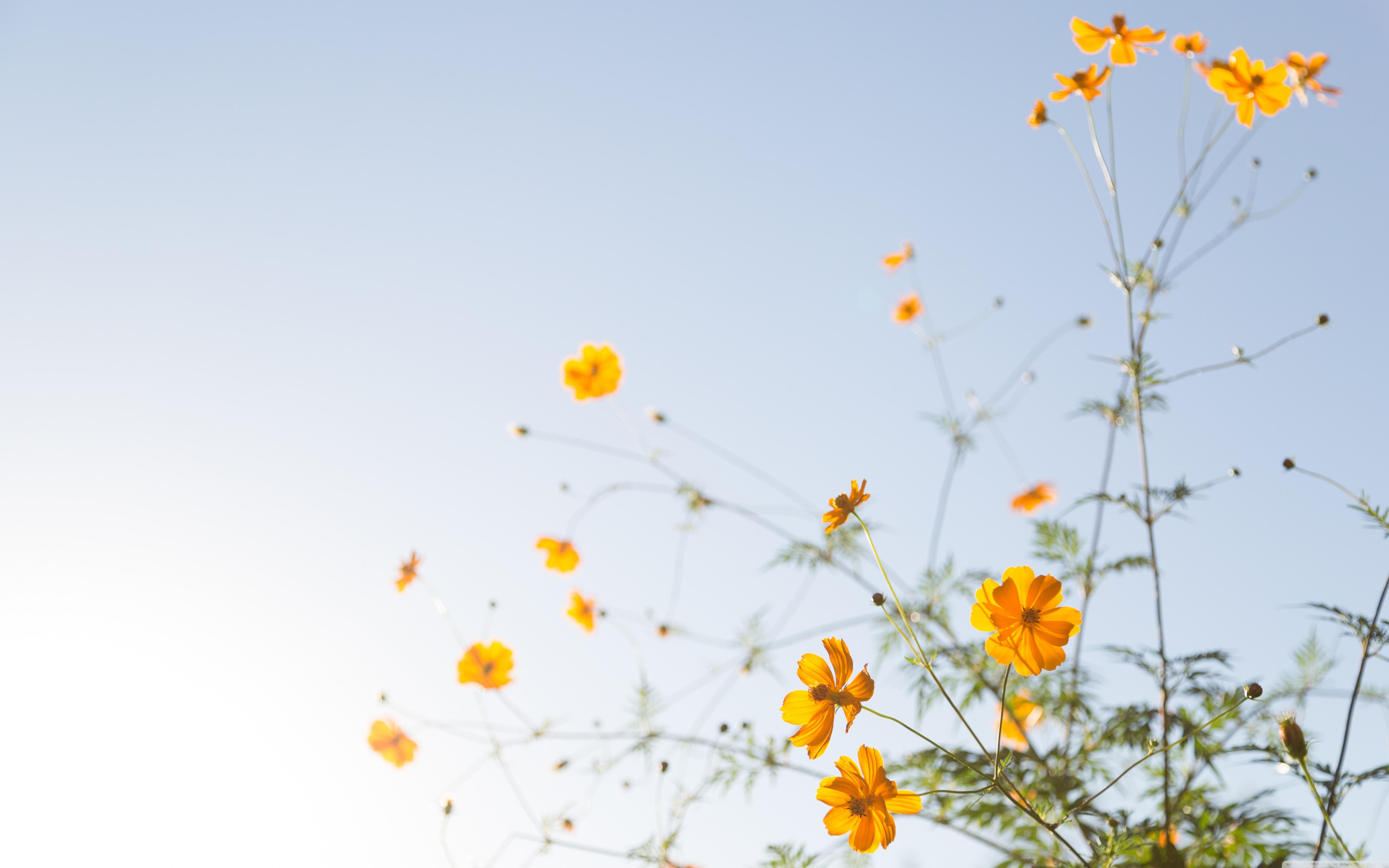 Free Download Yellow Flowers In Sunlight 4k Hd Desktop Wallpaper For 4k Ultra 5120x3200 For Your Desktop Mobile Tablet Explore 58 Flower Desktop Wallpapers Free Flower Wallpaper And Screensavers