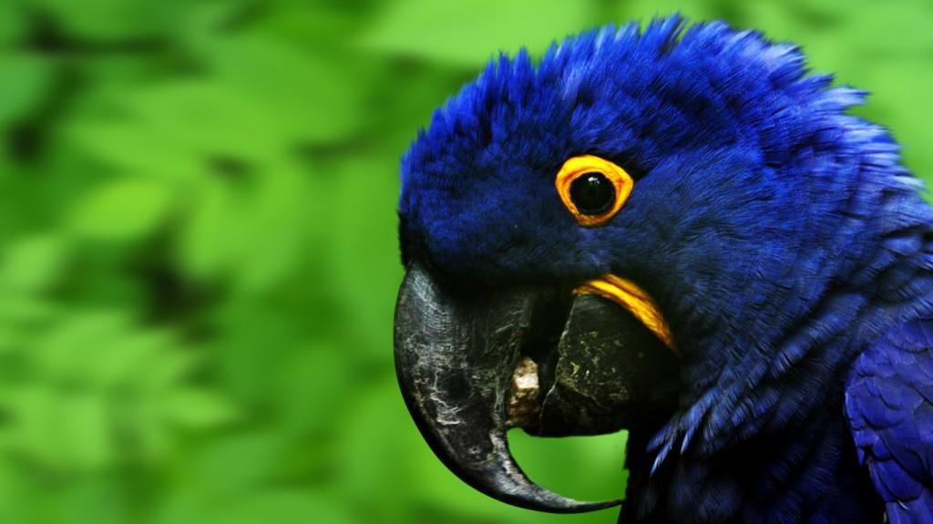 Blue Parrot Widescreen HD Laptop Wallpaper Wallpapers 1024x575